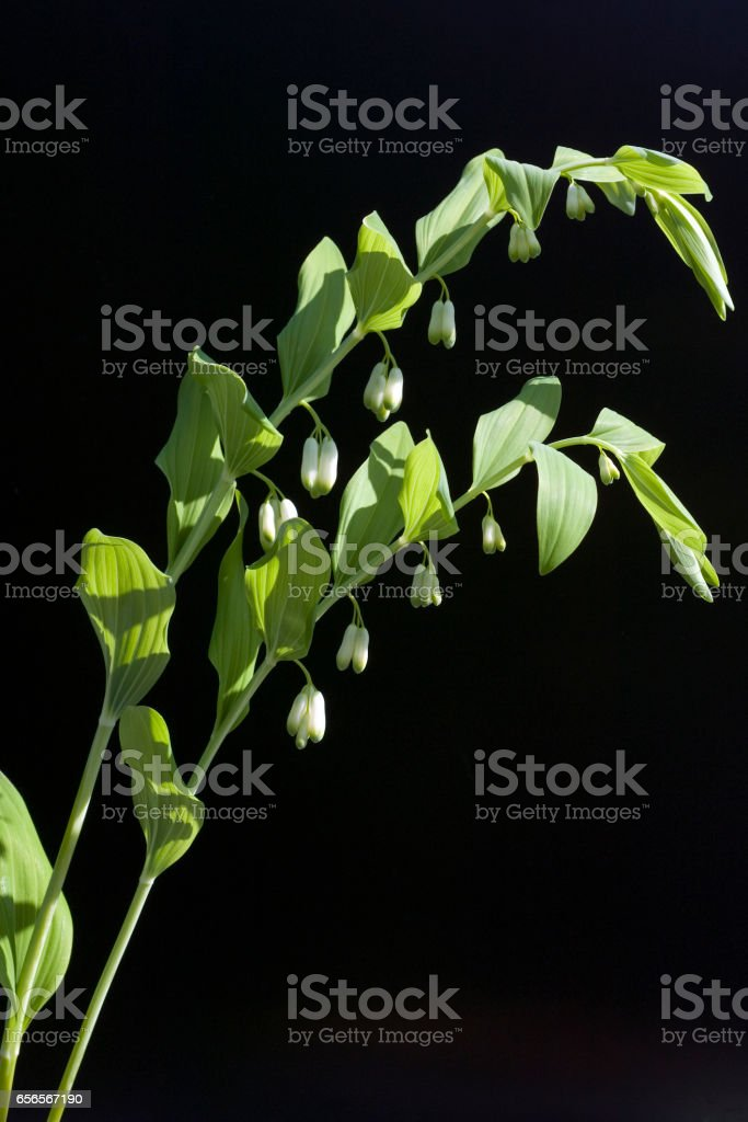 Salomonsiegel; Polygonatum, Odoratum stock photo