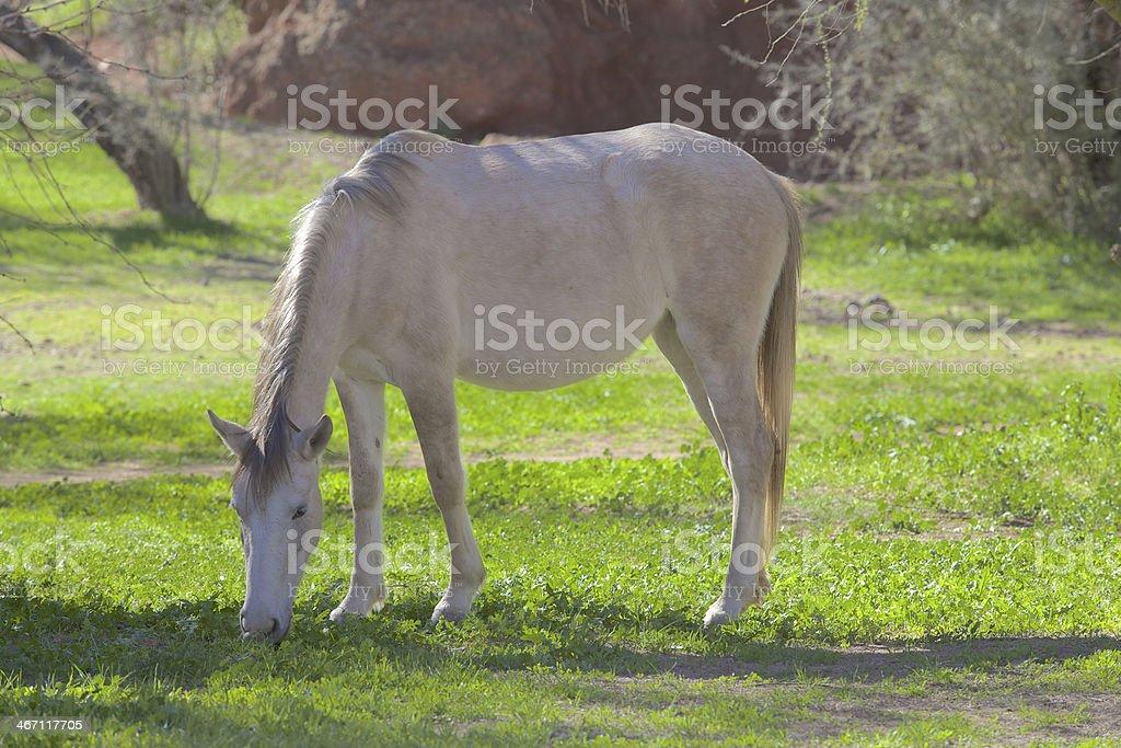 Salt River Wild Horse Grazing stock photo