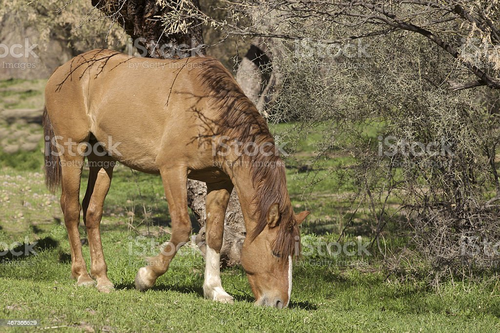 Salt River Wild Horse royalty-free stock photo