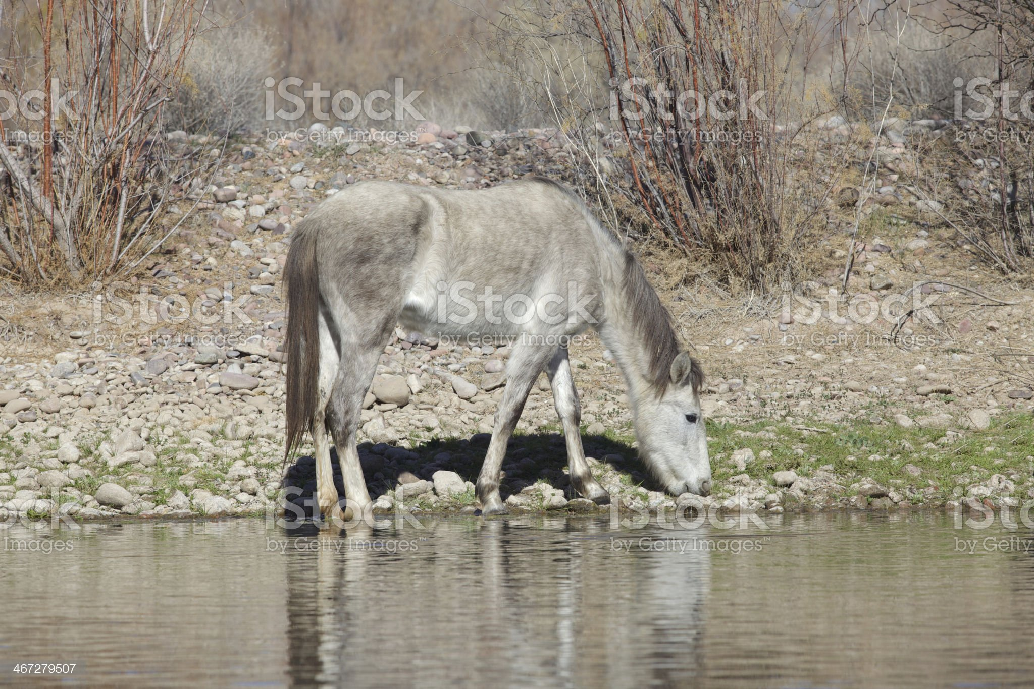 Salt River Wild Horses royalty-free stock photo
