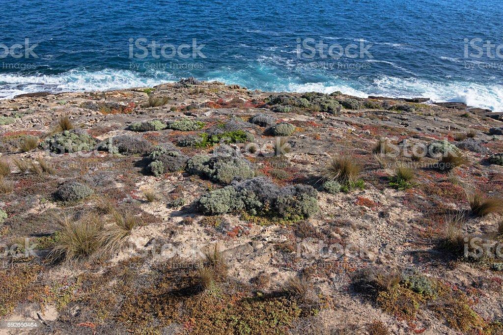 Salt tolerant plants, grass growing on coast, Flinders Chase Park stock photo
