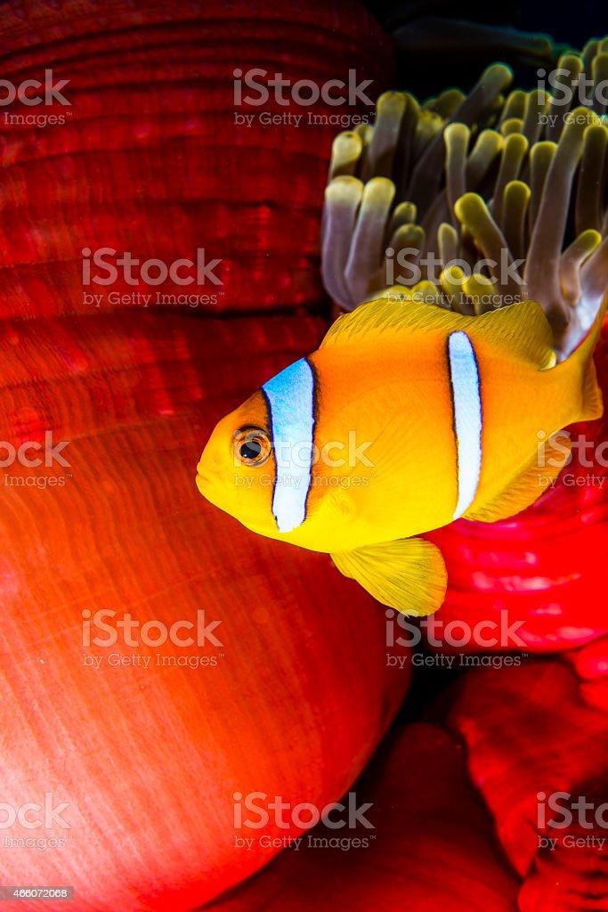 Salt Water anemone stock photo