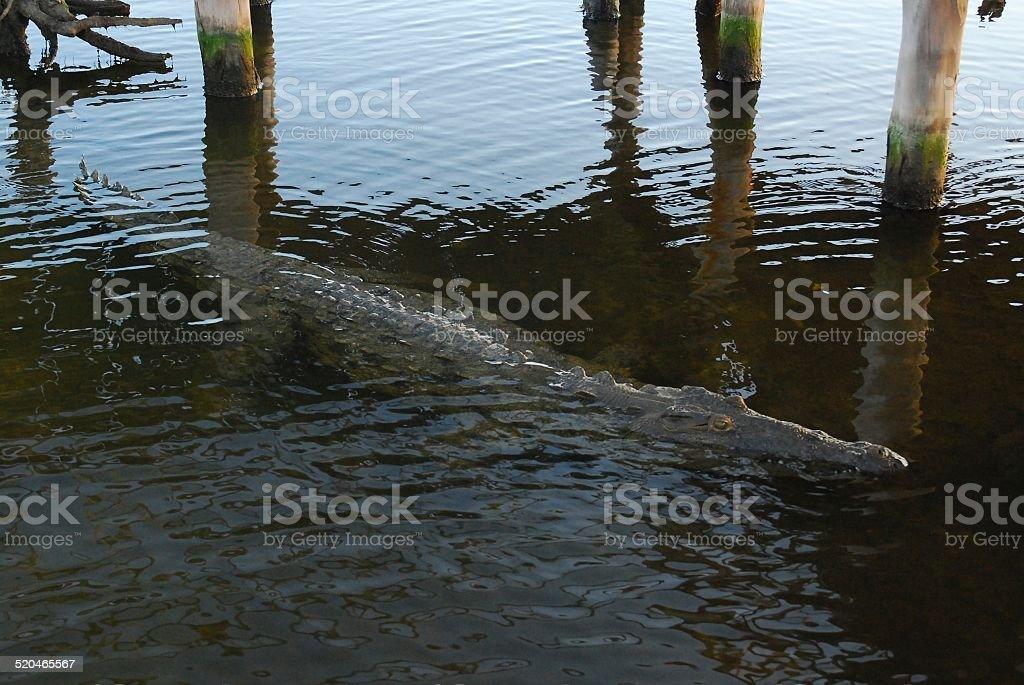 Salt Water Crocodile at Punta Sur royalty-free stock photo