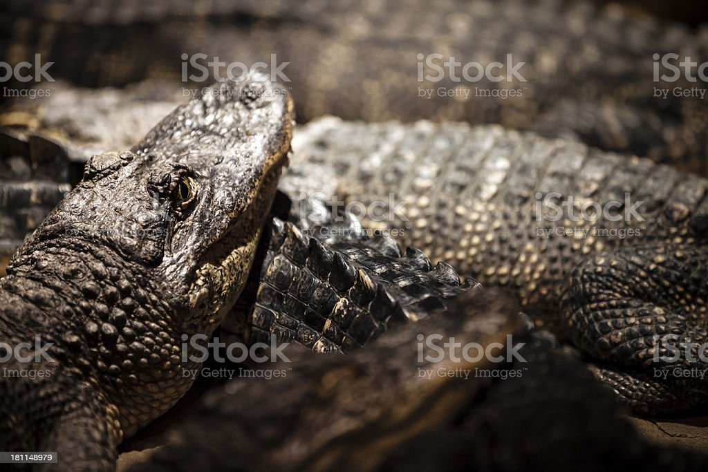 Salt water Crocodiles royalty-free stock photo