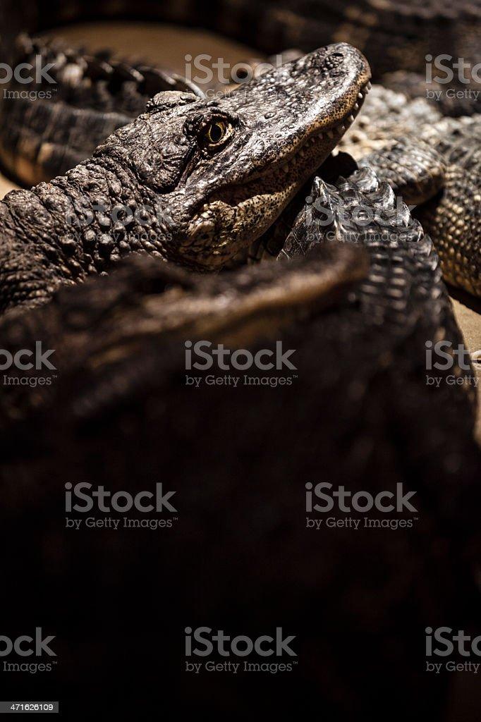 Salt water Crocodiles stock photo