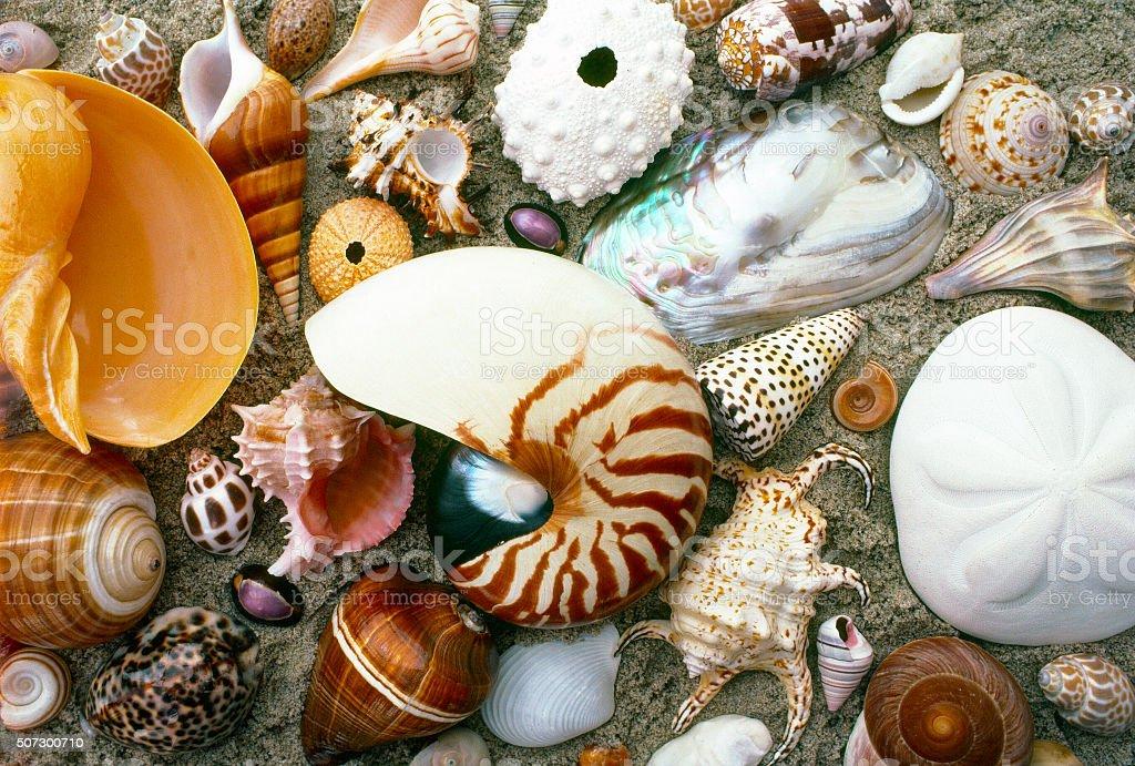 Salt water seashell varieties in the sand stock photo