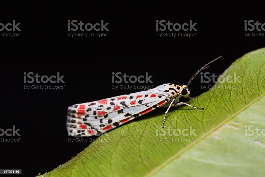 Salt-and Pepper moth or Heliotrope moth stock photo