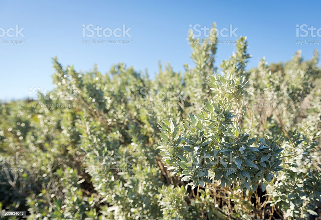 Saltbush stock photo