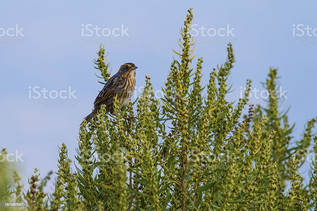Saltmarsh Sharp-tailed Sparrow (Ammodramus caudacutus) royalty-free stock photo