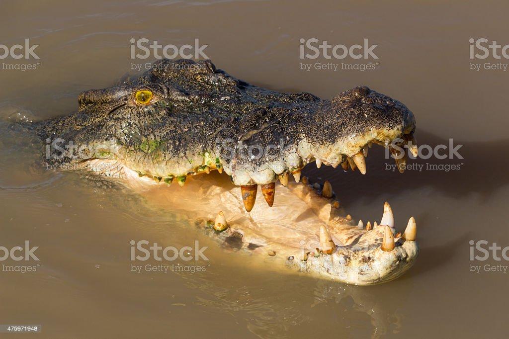 Saltwater Crocodile Australia stock photo