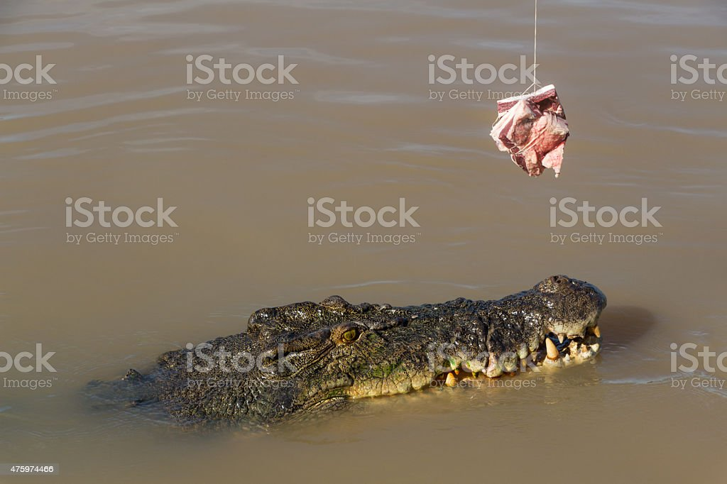Saltwater Crocodile Being Teased with Bait in Australia stock photo