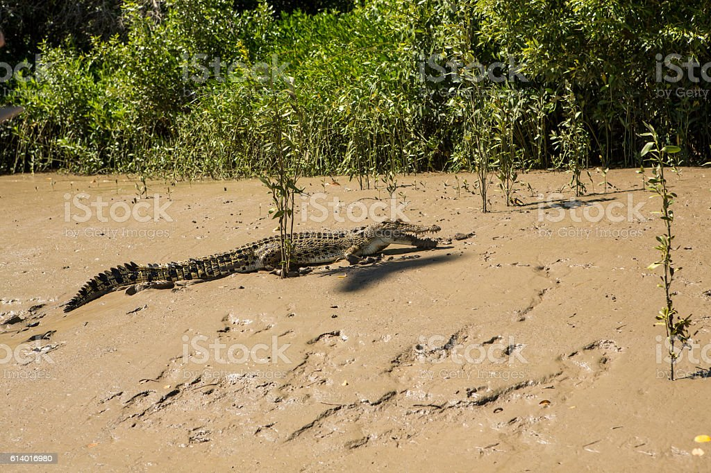 Saltwater Crocodile crawling on muddy shore, Australia stock photo