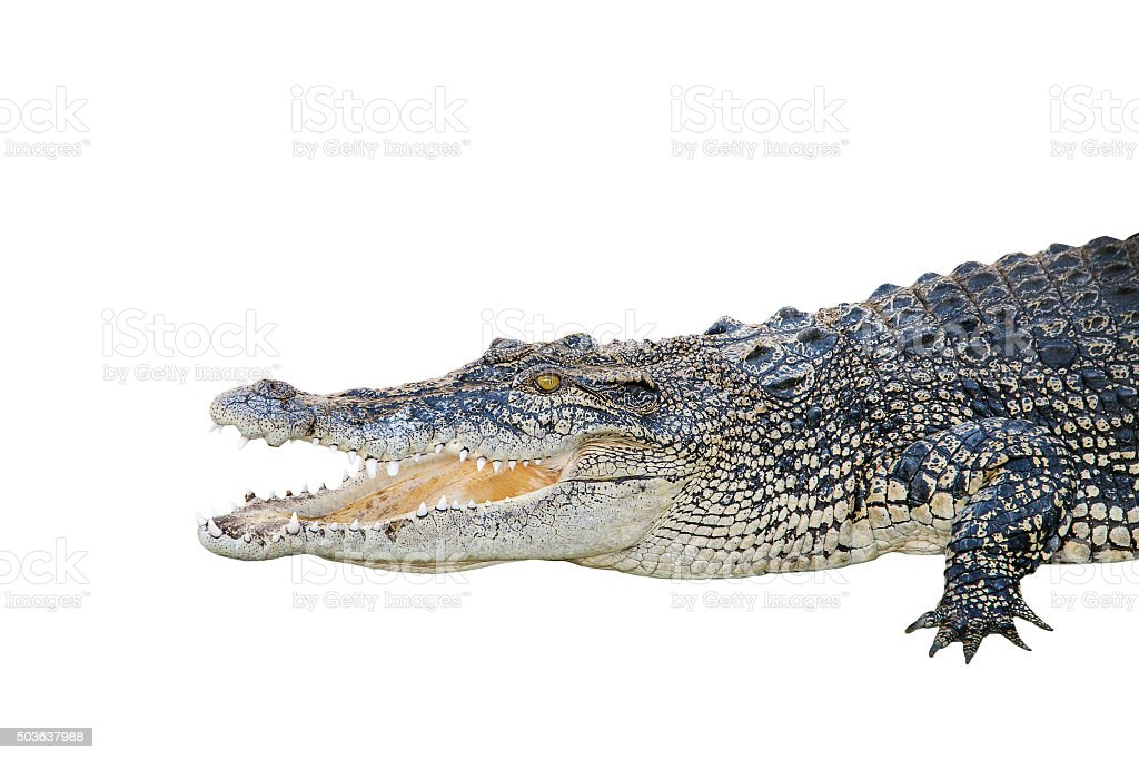 saltwater crocodile, crocodylus porosus, jaws open wide stock photo