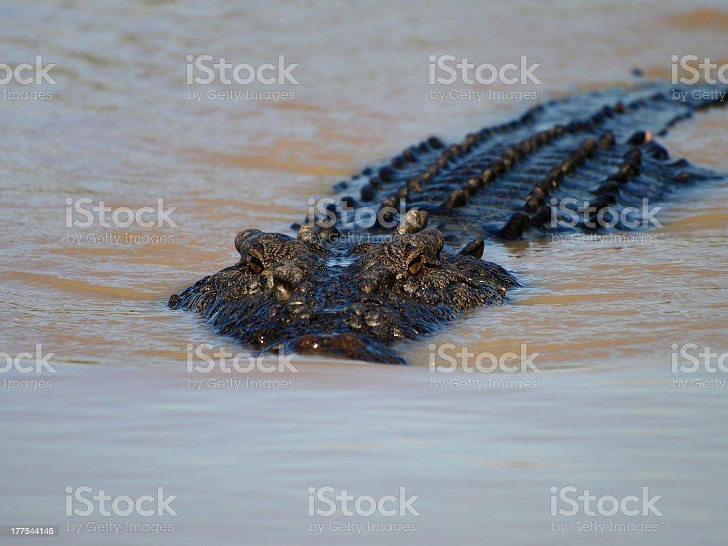 Saltwater crocodile in Adelaide river near Darwin stock photo