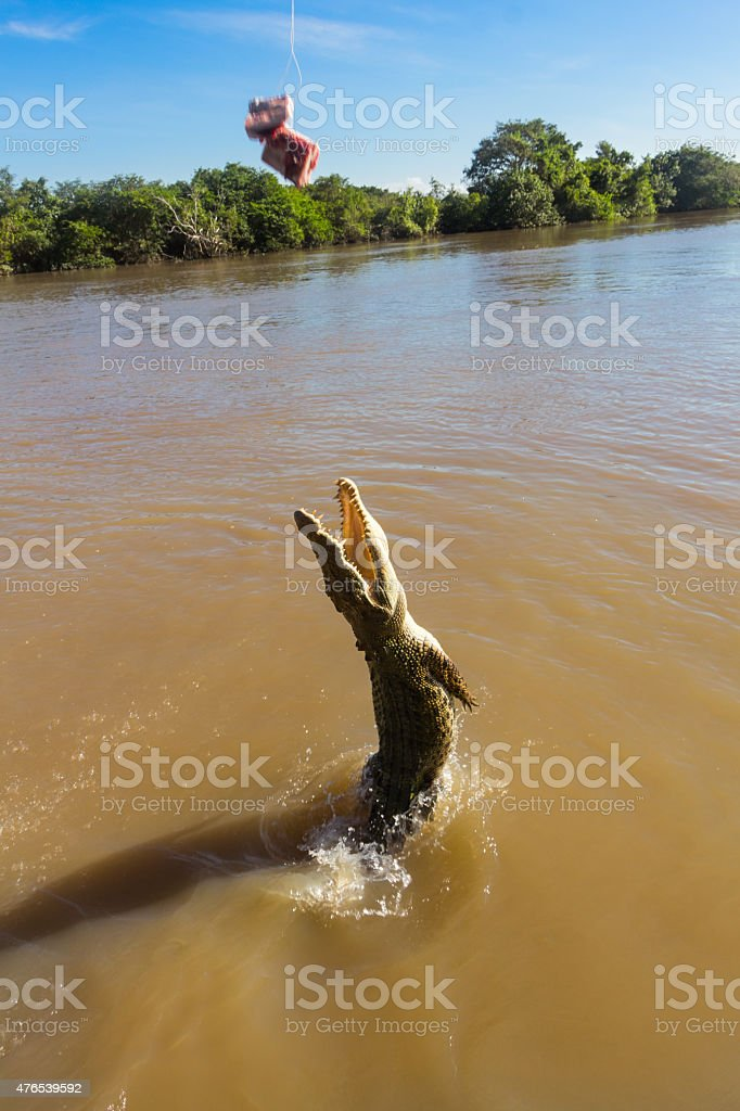 Saltwater Crocodile Jumping Out for Bait Adelaide River Australia stock photo