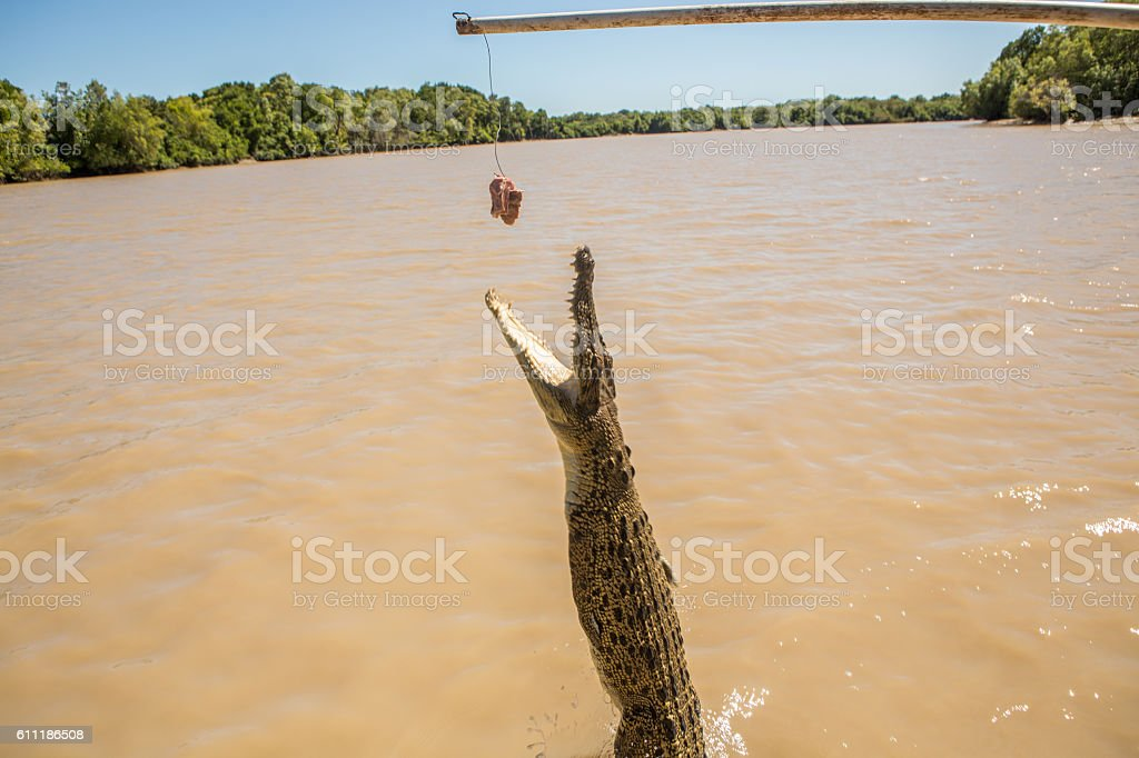 Saltwater Crocodile jumping to grab meat from tourist boat, Australia stock photo