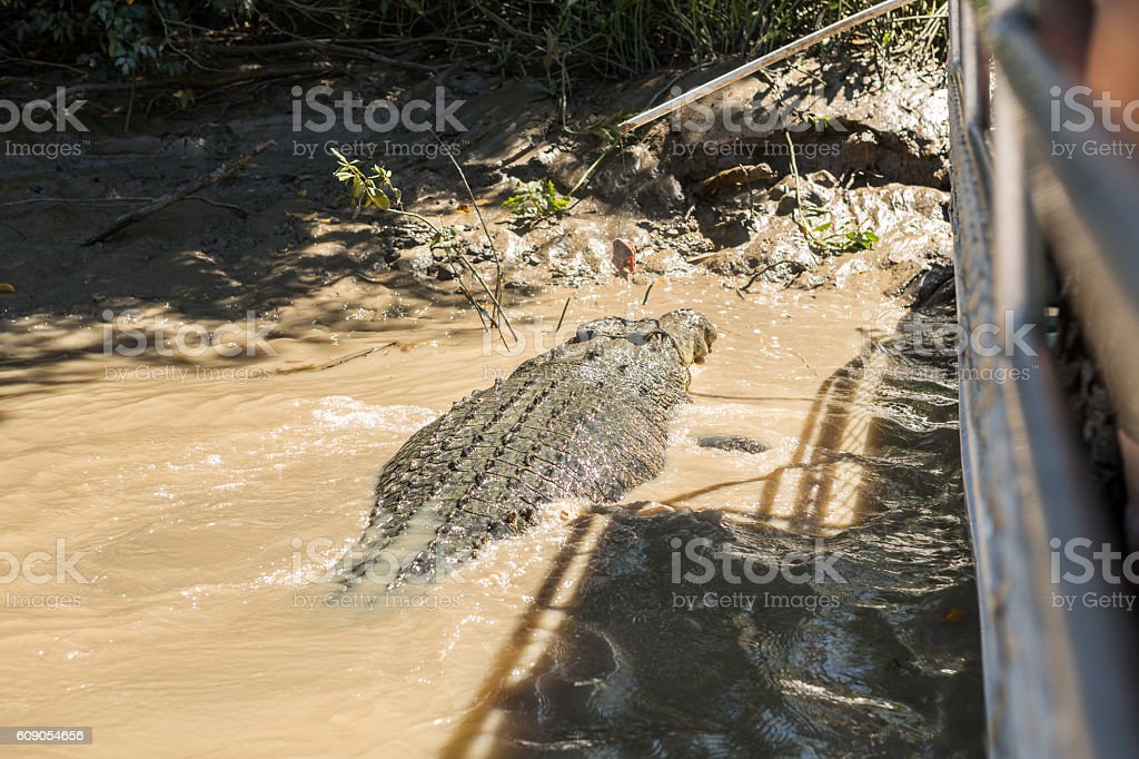 Saltwater Crocodile jumping to grab meat from tourist boat stock photo