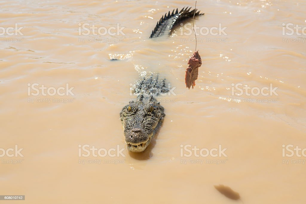 Saltwater Crocodile looking to grab raw meat stock photo