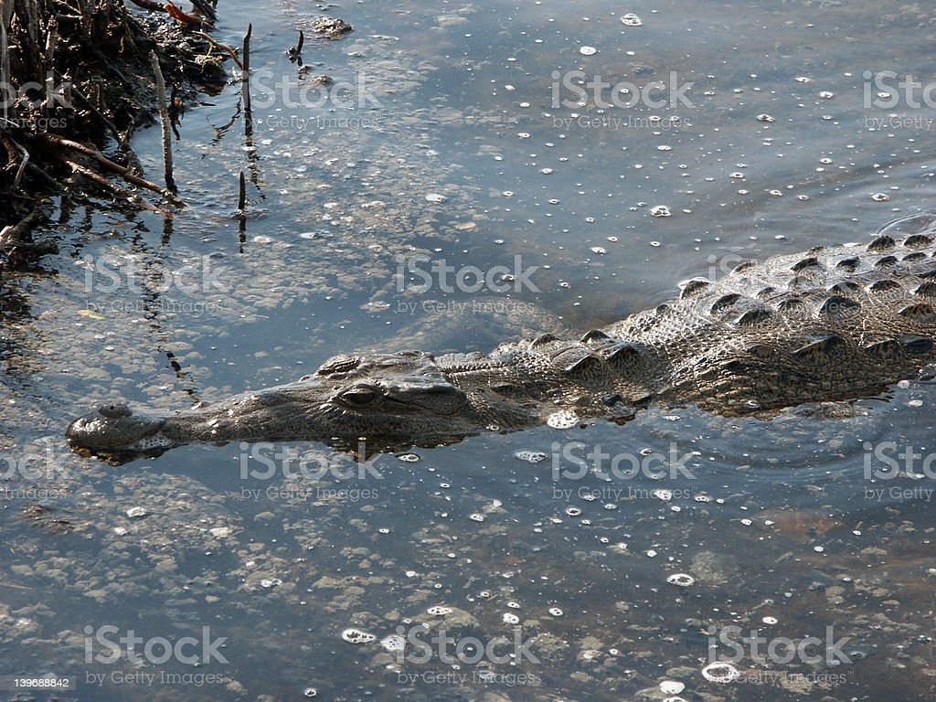 Saltwater Crocodile royalty-free stock photo