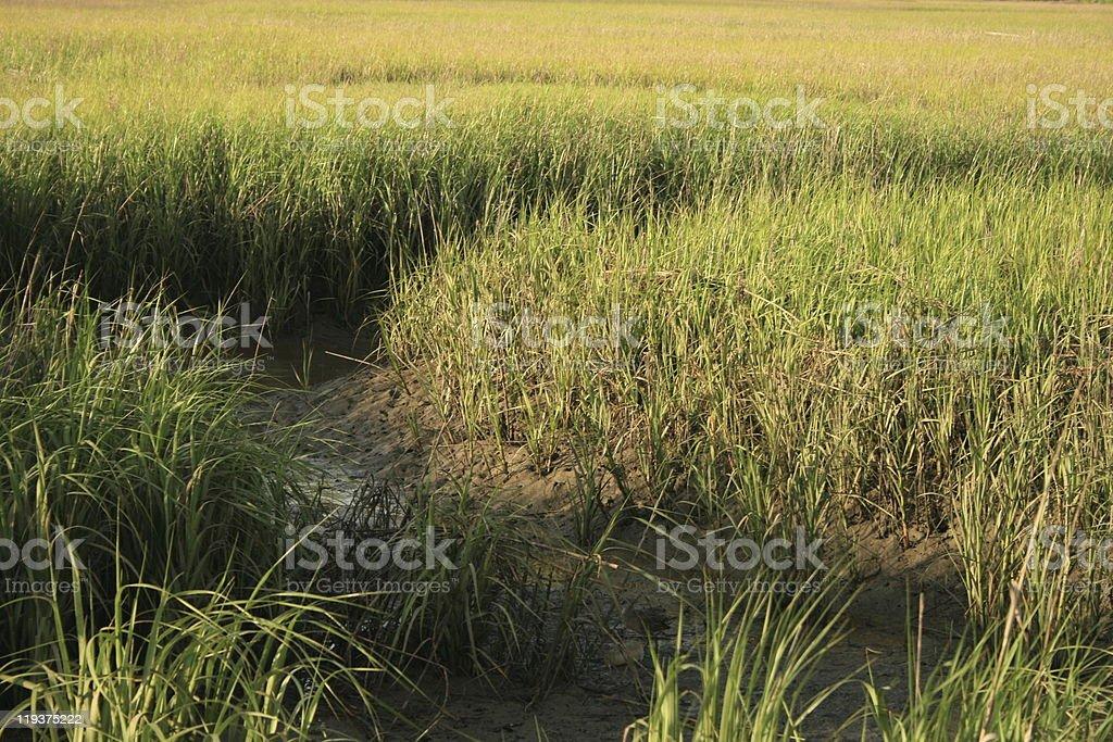 Saltwater Marsh Grass royalty-free stock photo