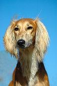 Saluki dog portrait