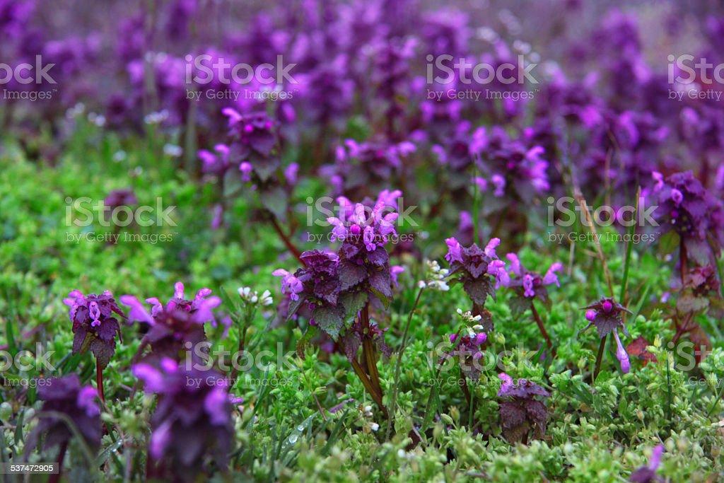 salvia bloom stock photo
