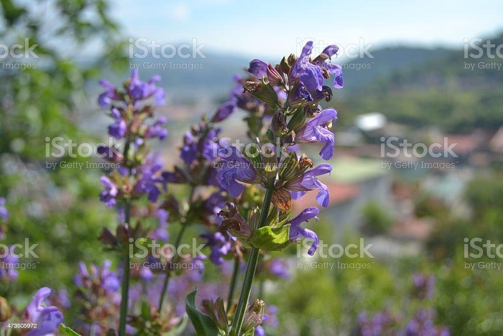 Salvia e rosmarino, Le spezie dell'orto stock photo