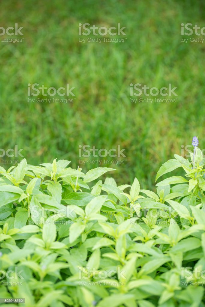 Salvia japonica Thunb with green grass background stock photo