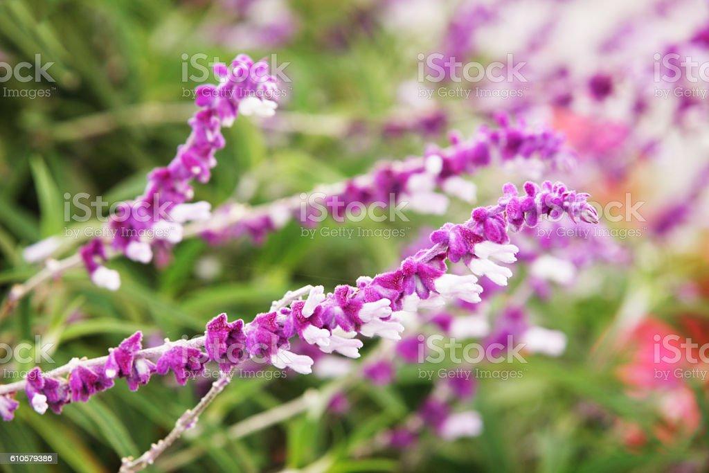 Salvia leucantha Mexican Bush Flowering Sage Plant stock photo