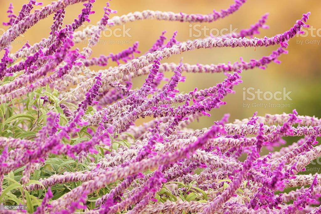 Salvia leucantha Mexican Bush Sage Flowers stock photo