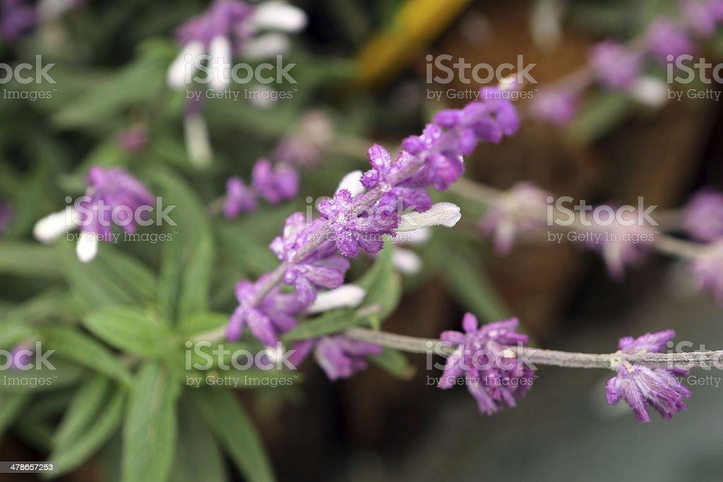 Salvia Leucantha stock photo