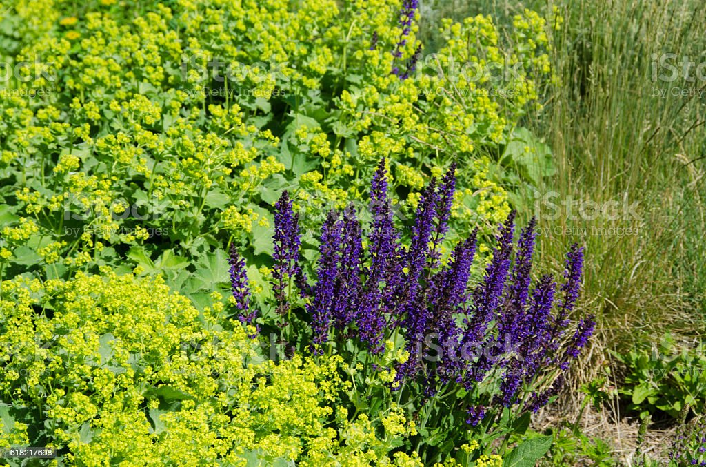 Salvia May Night and Lady's Mantle Plants in Full Bloom stock photo