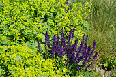 Salvia May Night and Lady's Mantle Plants in Full Bloom