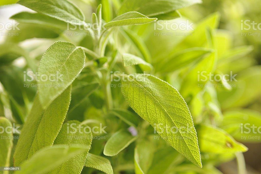 Salvia officinalis stock photo