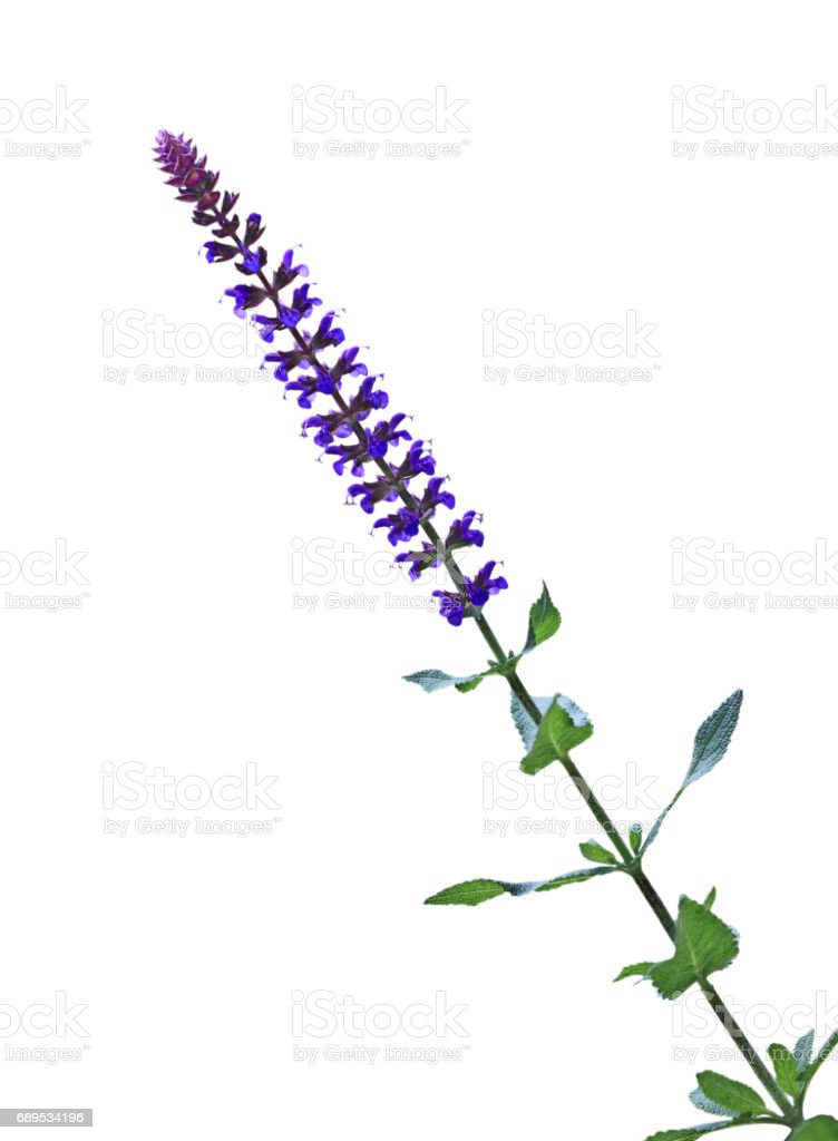 Salvia Pratensis Flower stock photo