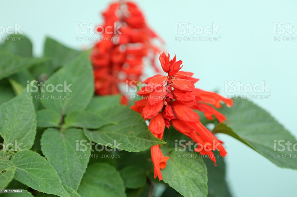 Salvia Splendens Ker Gawl stock photo