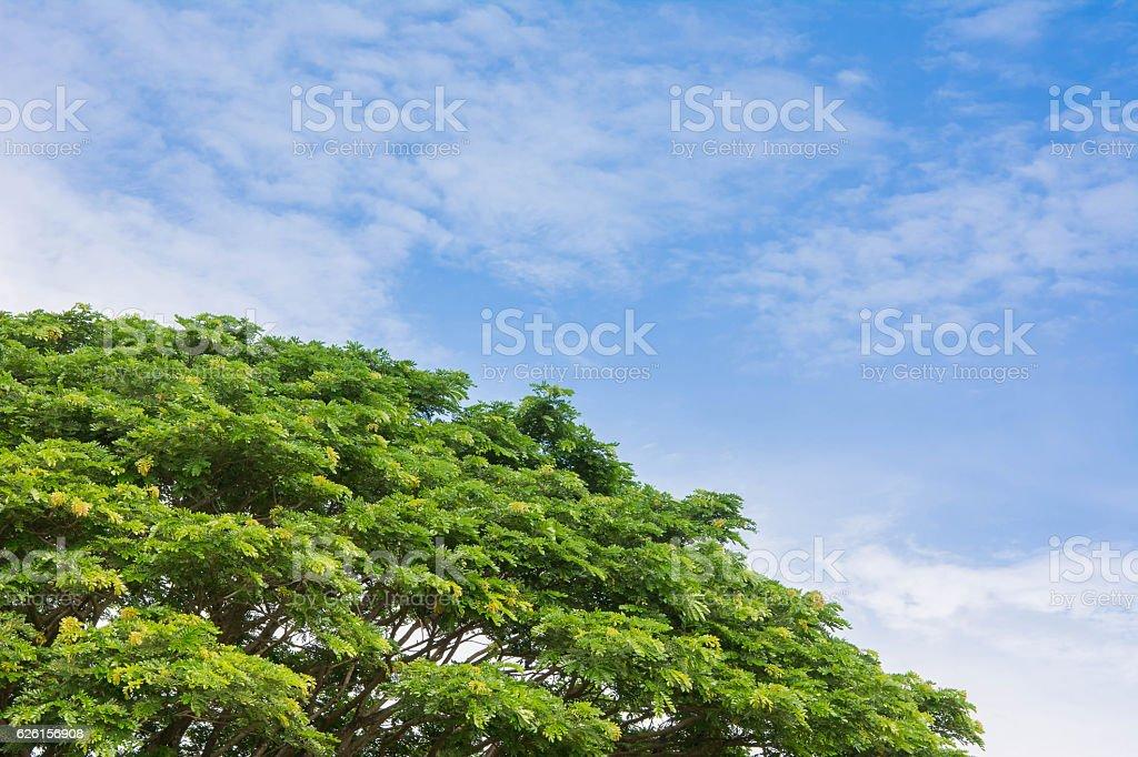 saman, rain tree against cloudy sky stock photo