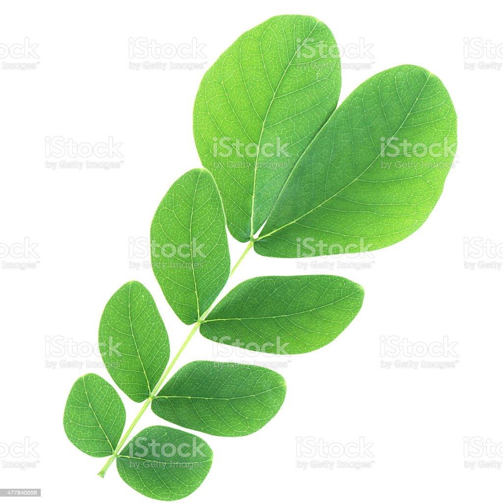 Samanea saman leaf isolated with clipping path stock photo