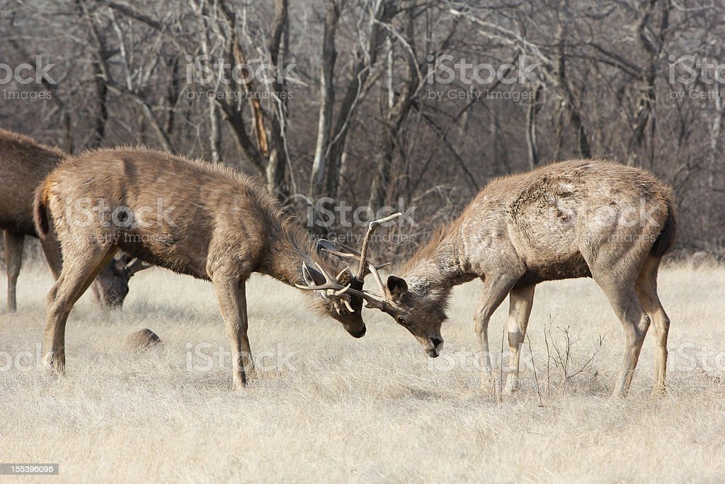 Sambar Deer in Ranthambhore NP, India stock photo