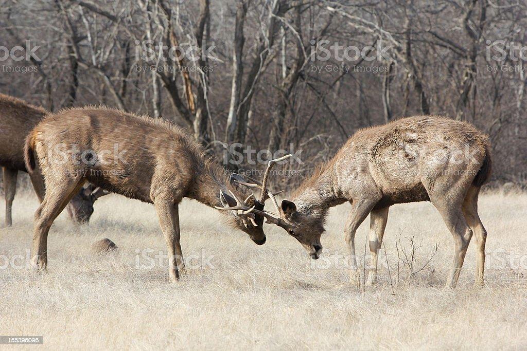 Sambar Deer in Ranthambhore NP, India stock photo