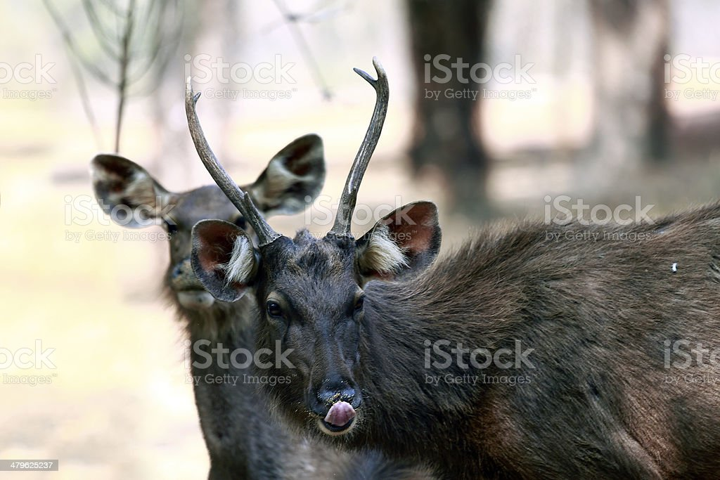 sambar deer royalty-free stock photo