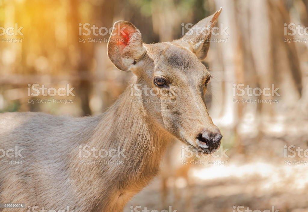 sambar deer(Rusa unicolor, Cervus unicolor) stock photo