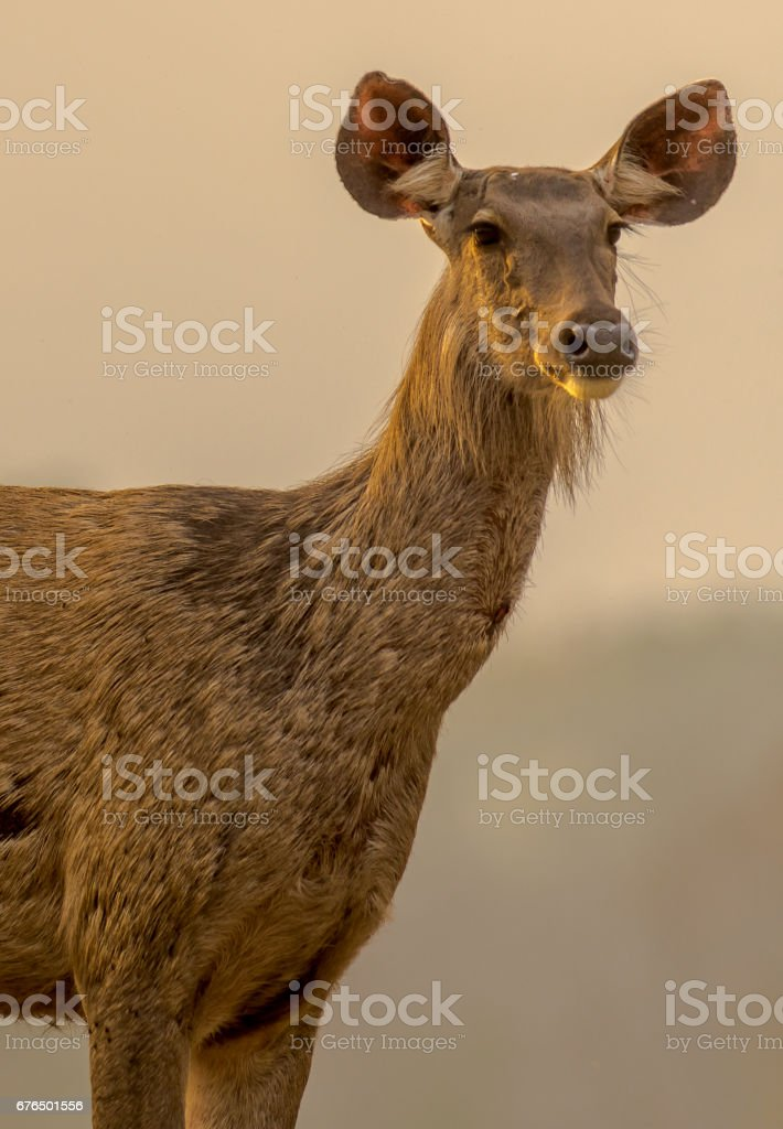 Sambar Deer portrait stock photo