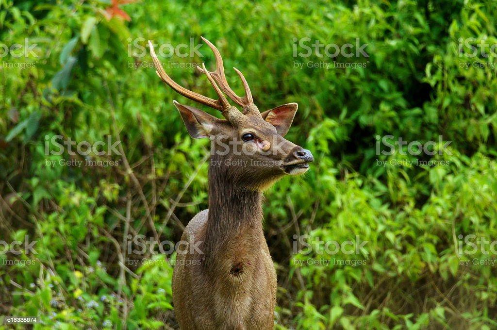 Sambar Deer wild deer. stock photo