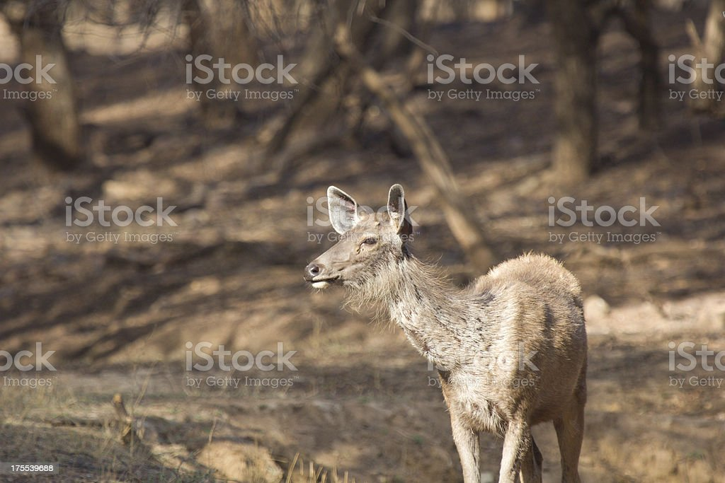 Sambar in Ranthambhore NP, India stock photo