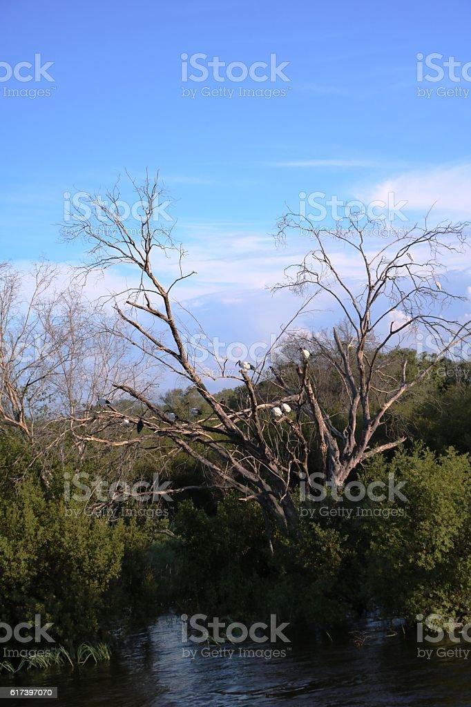 Sambesi shore with Threskiornis aethiopicus in tree, Zambia Africa stock photo