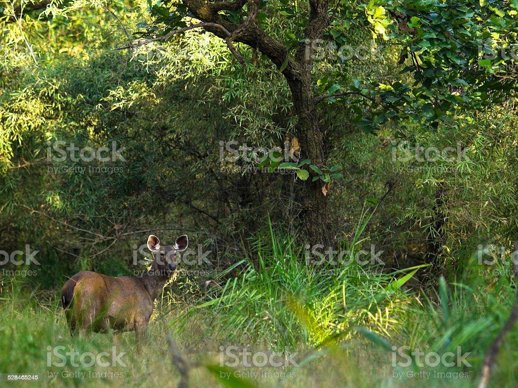 Sambhar deer In Tiger land stock photo