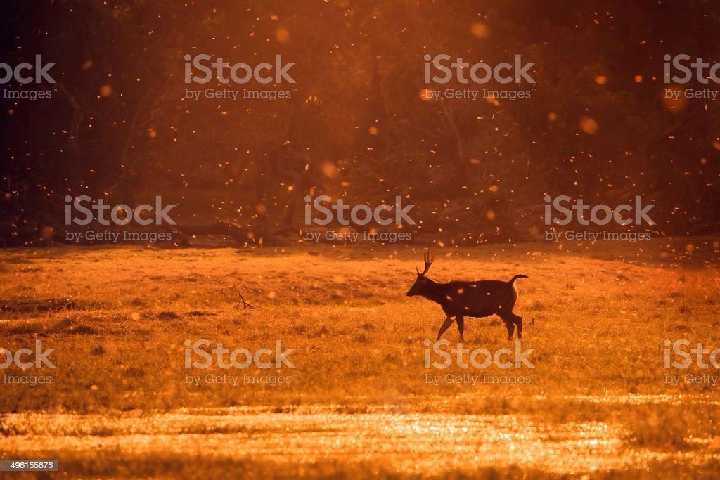 sambhar Deer stock photo