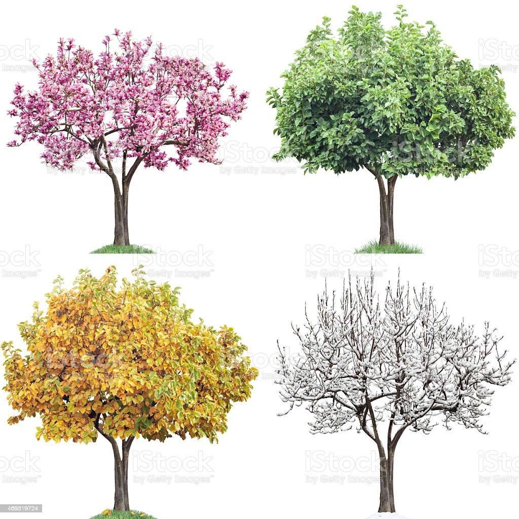 Same Tree Four Seasons, Magnolia stock photo