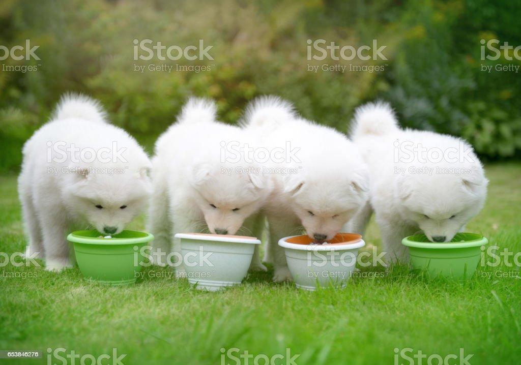 Samoyed dog and puppies stock photo
